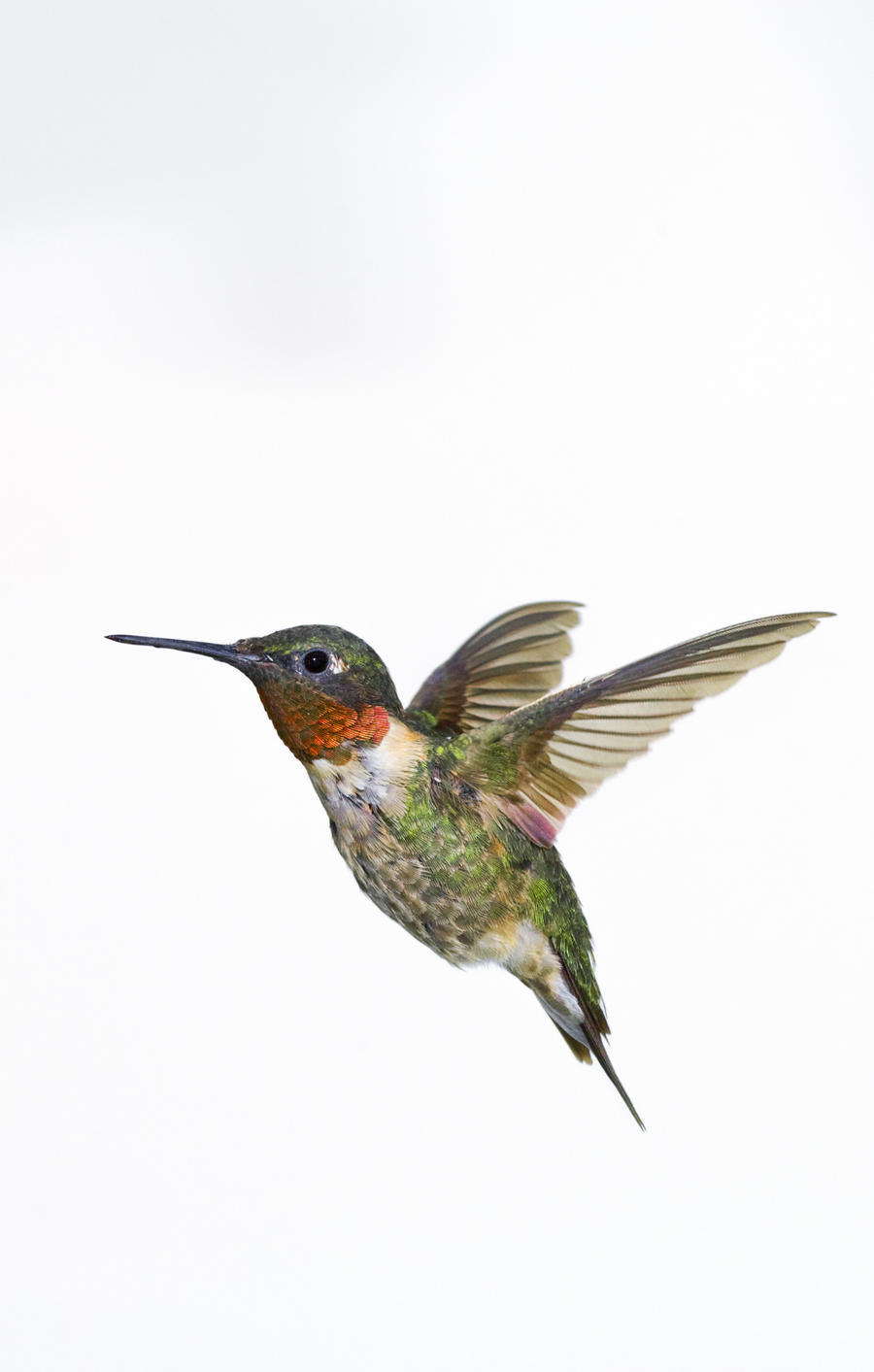 Hummingbird Drawings Step By Step: Ruby-Throated Hummingbird (Archilochus Colubris). Adult