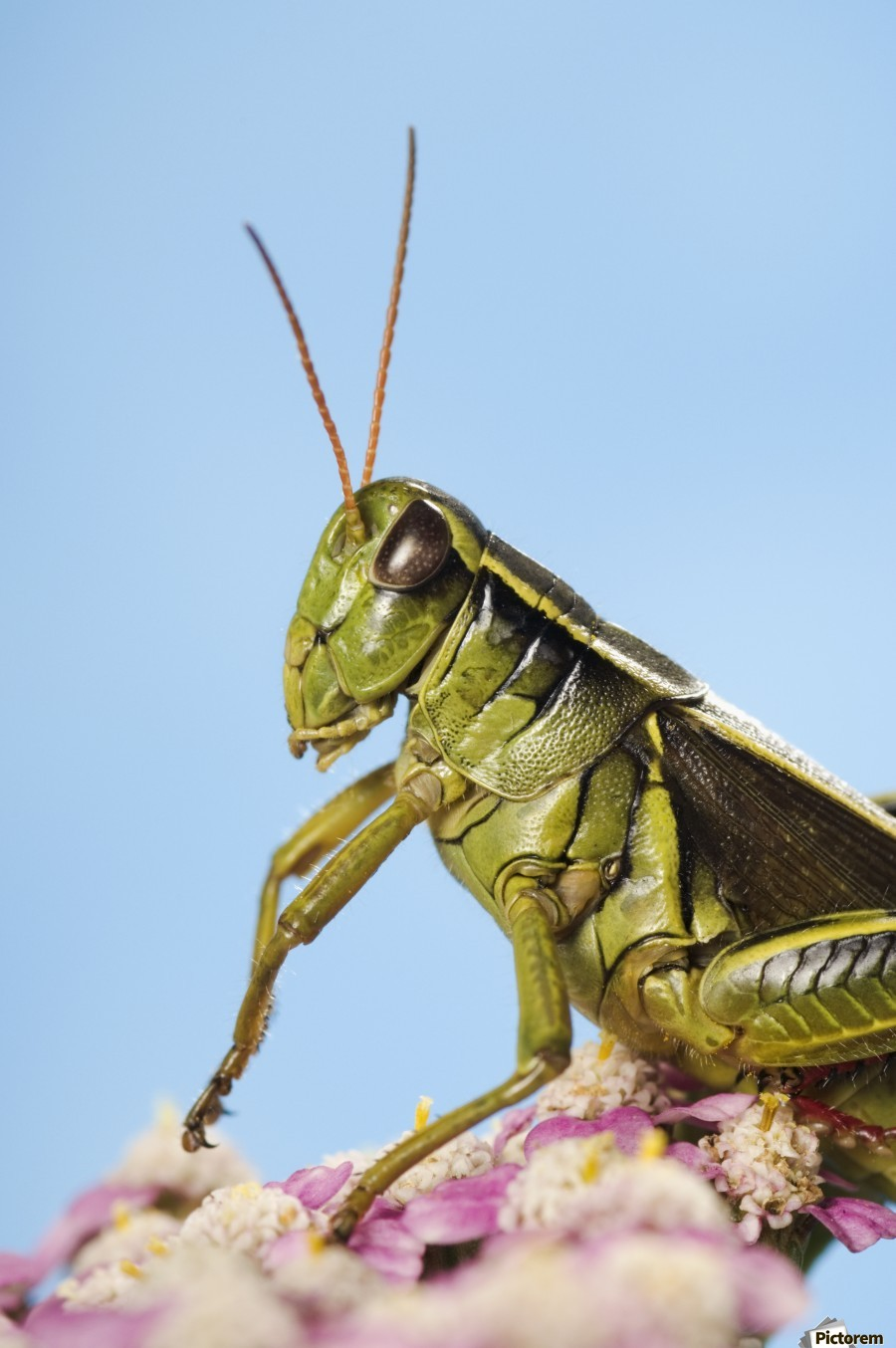 Grasshopper Close-Up.  Print