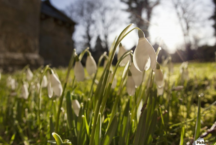 Snowdrop Flowers In The Sunlight; Northumberland, England  Print