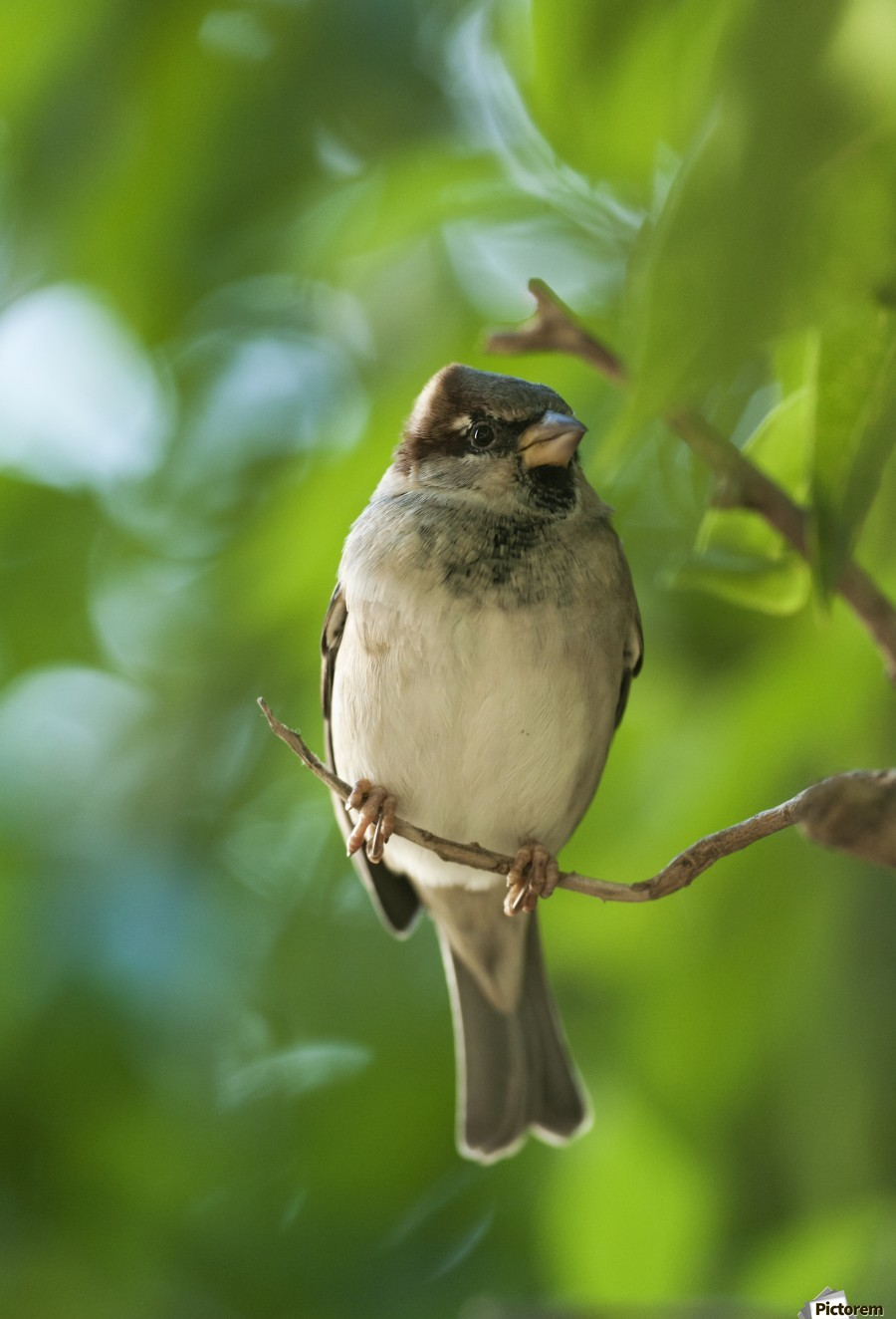 A Sparrow Perched On A Small Branch; Tarifa, Cadiz, Andalusia, Spain  Print