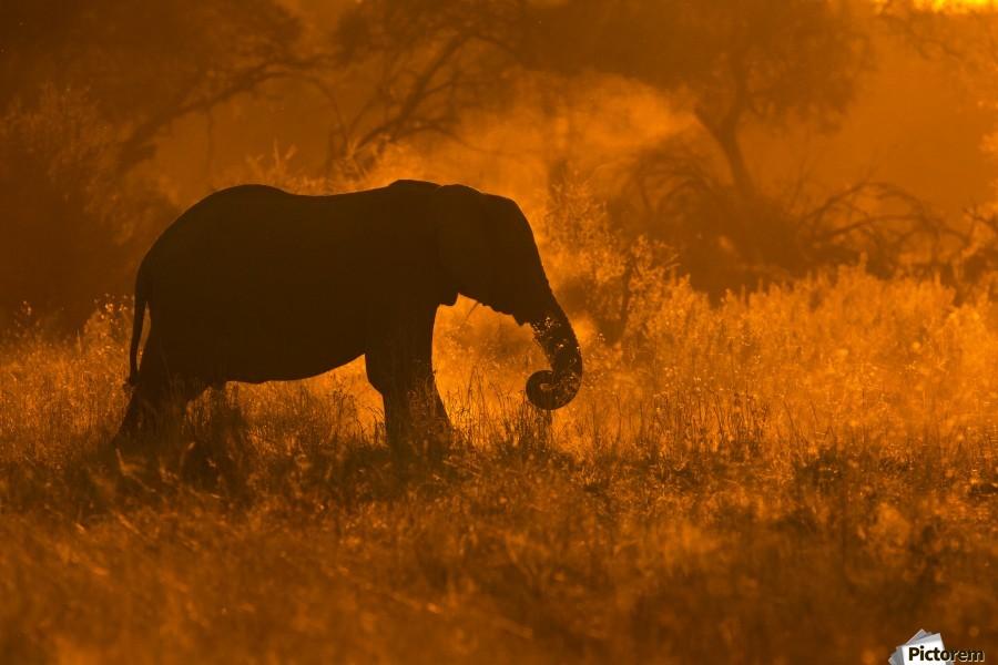 Golden Elephant in Savute  Print