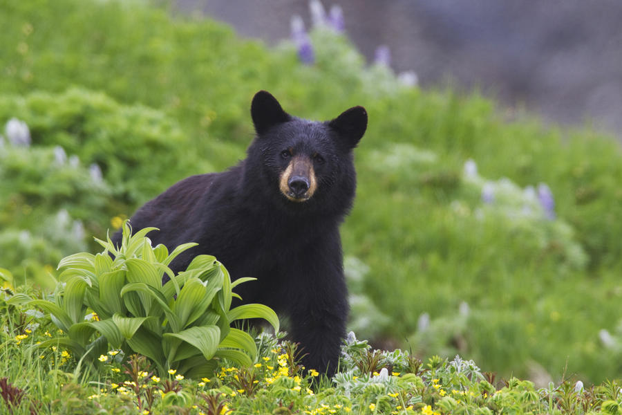 Black Bear Standing In Alpine Vegetation, Harding Icefield Trail, Kenai Fjords National Park, Near Seward, Southcentral Alaska, Summer  Print