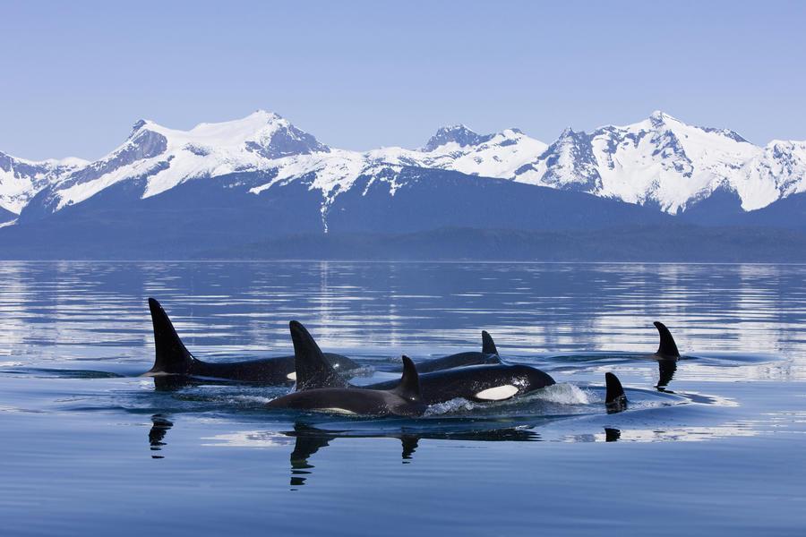 Orca Surface In Lynn Canal Near Juneau With Coast Range Beyond, Inside Passage, Alaska  Print