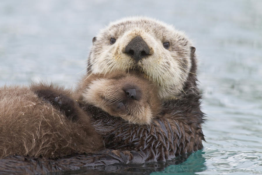 Female Sea Otter Holding Newborn Pup Out Of Water, Prince William Sound, Southcentral Alaska, Winter  Print