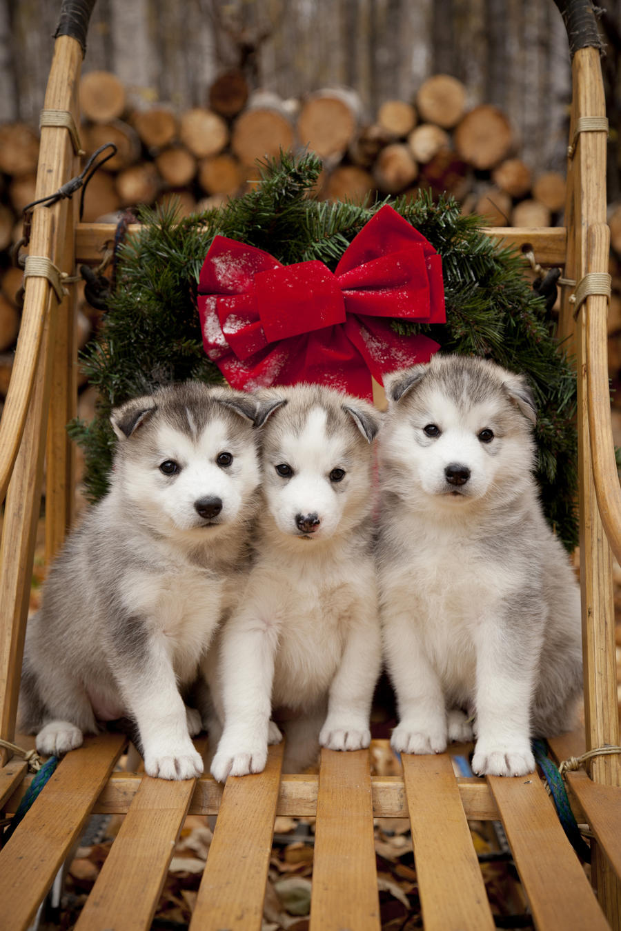 siberian husky puppies in traditional wooden dog sled with christmas