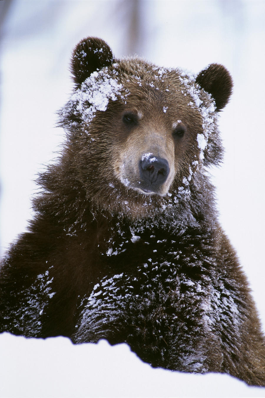 Alaskan Grizzly Bear In Snow grizzly bear standing with face covered ... Grizzly Bear Face Logo
