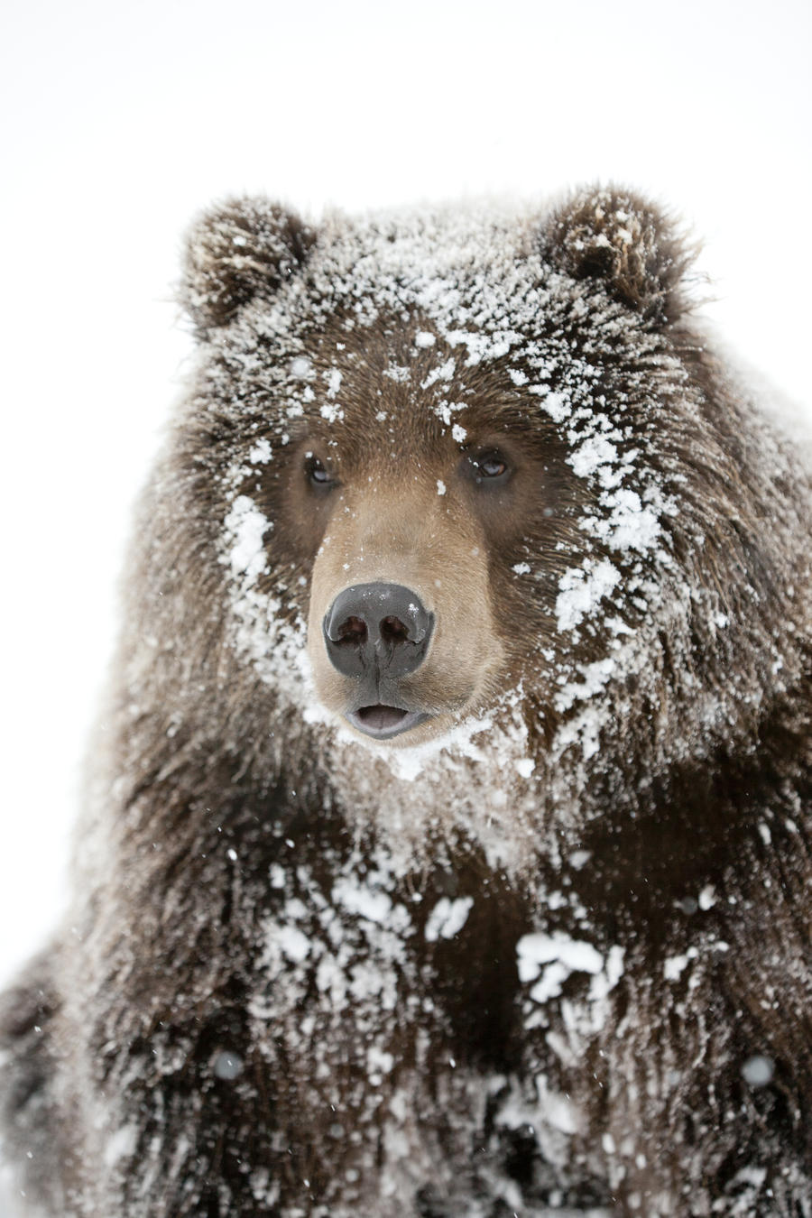 captive male brown bear with a frosty face lying on snow. Black Bedroom Furniture Sets. Home Design Ideas
