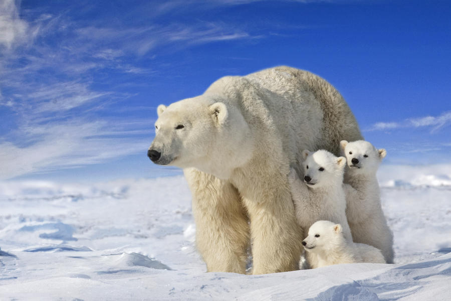 View Of Polar Bear Sow Ursus Maritimus With Her Triplet