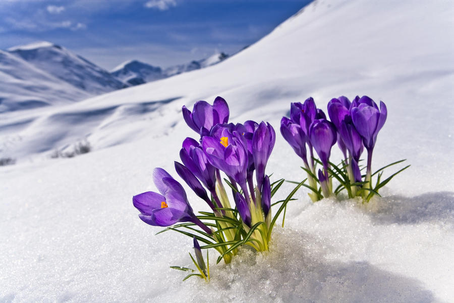 Crocus Flower Peeking Up Through The Snow Spring