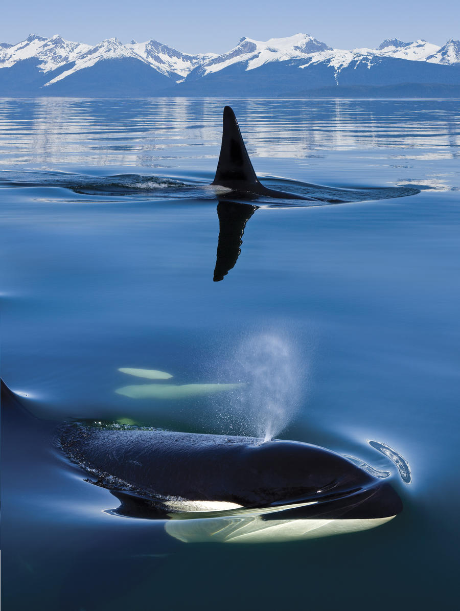 Composite: Close Up Of Orca Whales As They Surface In Lynn Canal With The Coast Range Mountains In The Background, Inside Passage, Southeast Alaska  Print