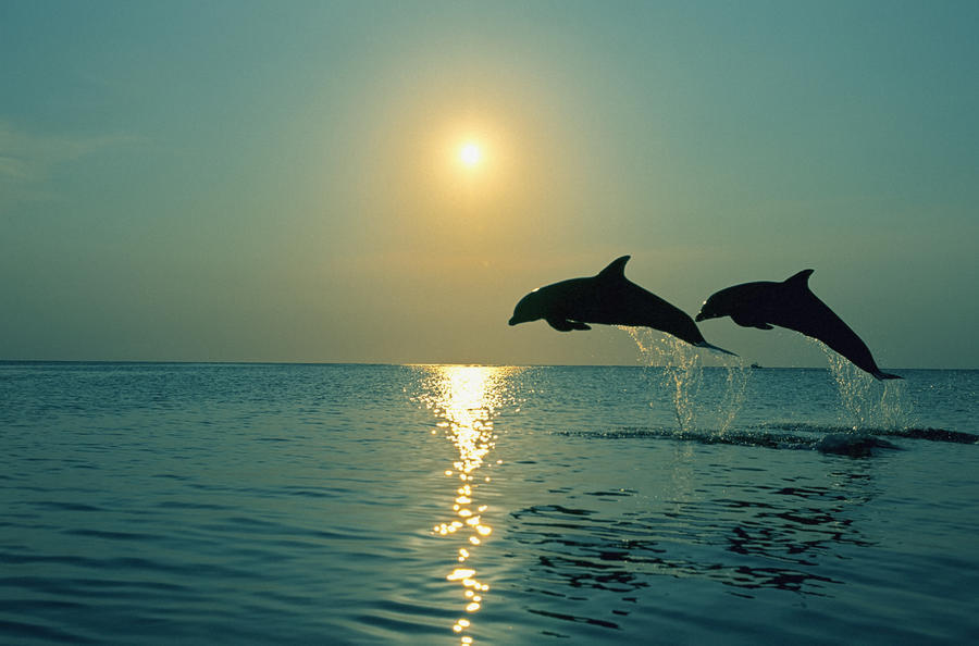 Pair Of Bottle Nose Dolphins Jumping @ Sunset Roatan ...