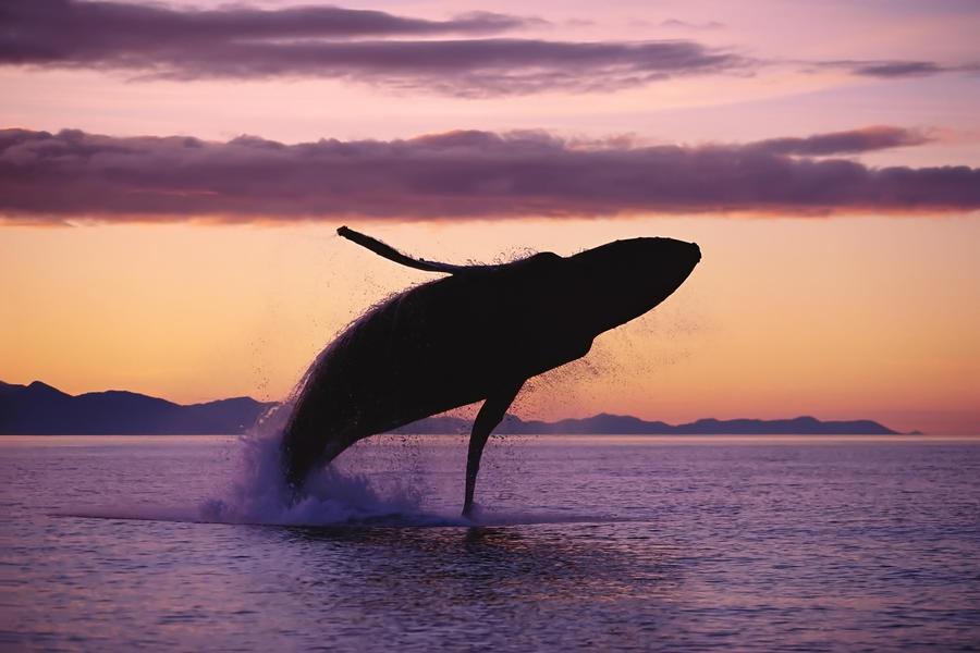 Humpback Whale by John Hyde//Design Pics art print new art poster Poster 40 x 60 cm