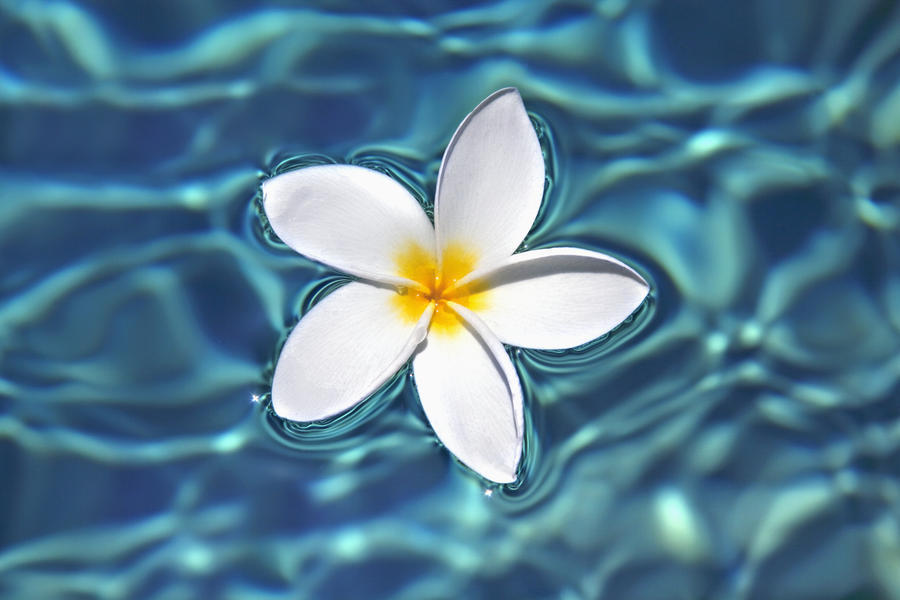 plumeria flower floating in clear blue water. - pacificstock - canvas
