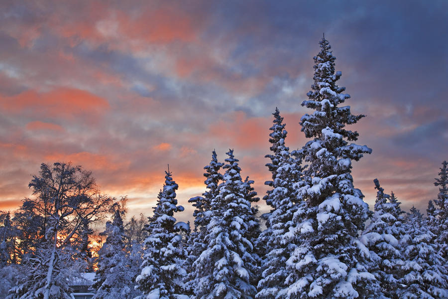 View Of Snow Covered Spruce Trees In A Rural Area Of Anchorage At Sunset, Southcentral Alaska, Winter  Print
