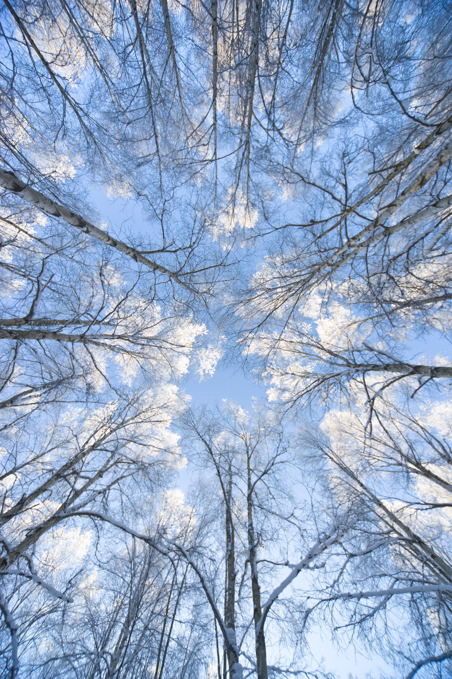 Looking Up Through Hoarfrost Covered Birch Trees In Russian Jack Park, Anchorage, Alaska  Print