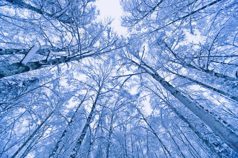 Tree Top Abstract Of A Snow Covered Birch Forest, Winter, Anchorage, Alaska  Print