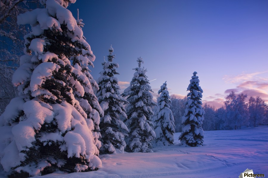 Snow Covered Spruce Trees At Sunset With Pink Alpenglow During Winter, Russian Jack Park, Anchorage, Southcentral Alaska, Usa.  Print
