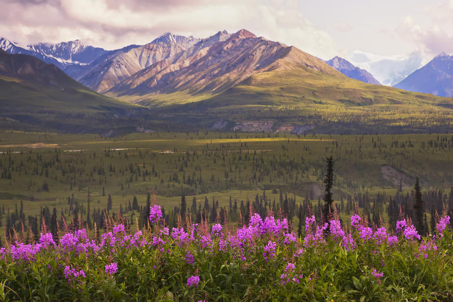 View Of The Chugach Mountains With Fireweed In The Foreground Along The Glenn Highway, Southcentral Alaska, Summer, Hdr  Print