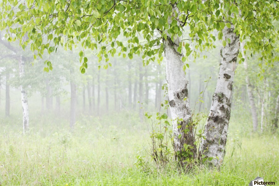 Birch trees in fog;Thunder bay ontario canada  Print