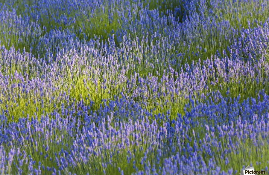 Rows of lavender plants in a field in the cowichan valley;Vancouver island british columbia canada  Print