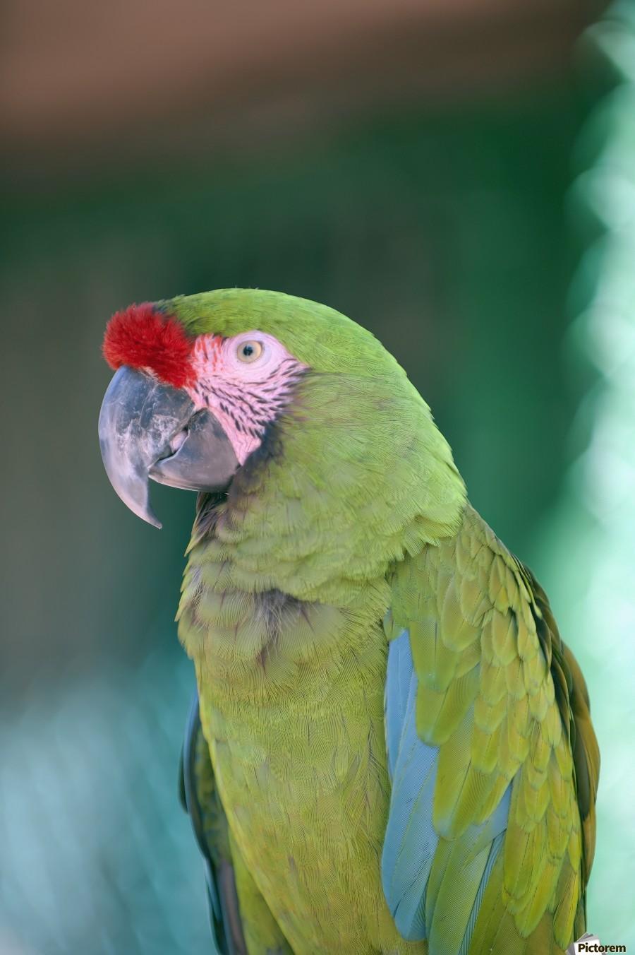 Close up of a parrot;Puerto vallarta mexico  Print