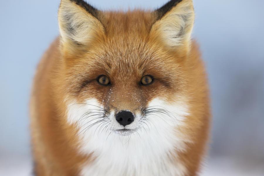 Red Fox Staring At The Camera Churchill Manitoba Canada
