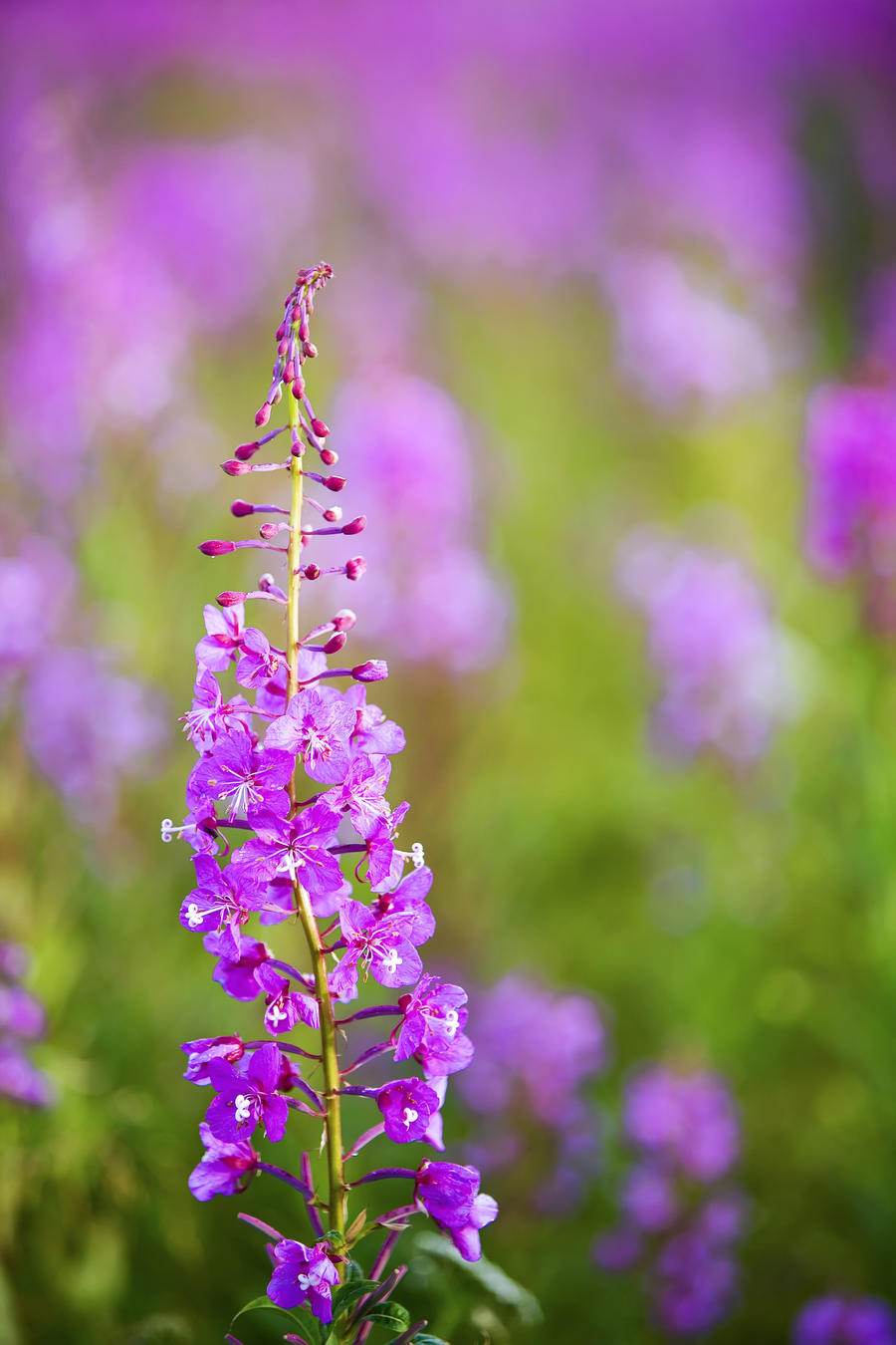 Fireweed Detail Near Anchor Point On The Kenai Peninsula In Southcentral Alaska.  Print