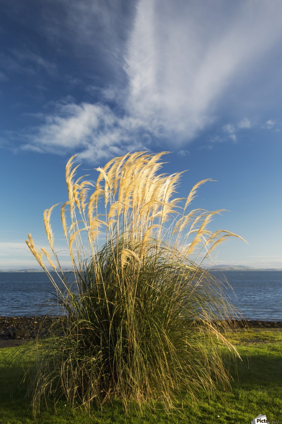 Tall grasses growing at the water's edge;Dumfries and galloway scotland  Print