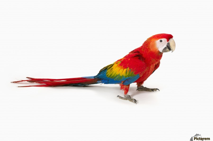 A Scarlet Macaw Parrot On White Background Pacificstock