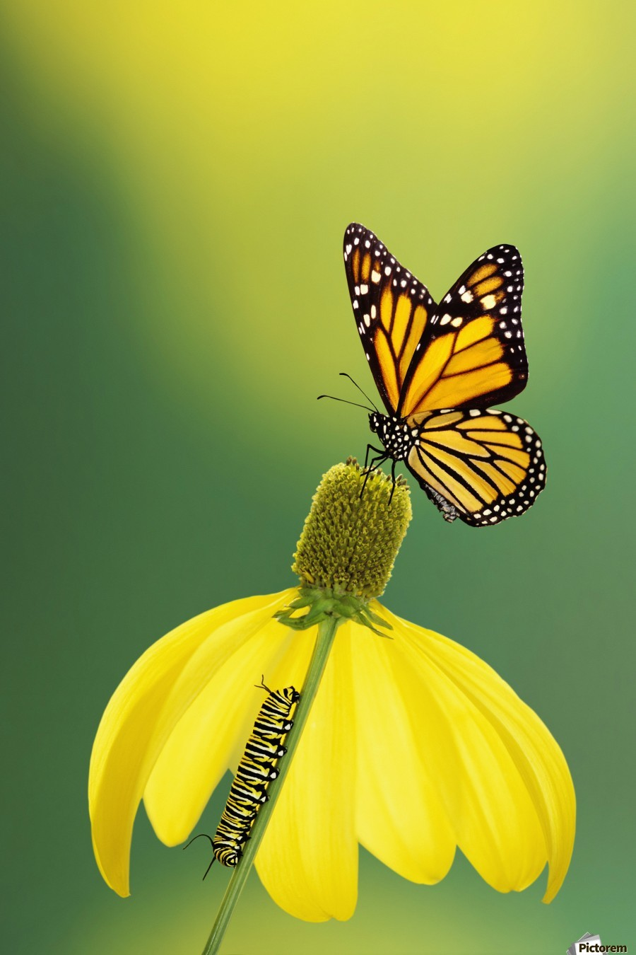Caterpillar to butterfly;British columbia canada - PacificStock Canvas