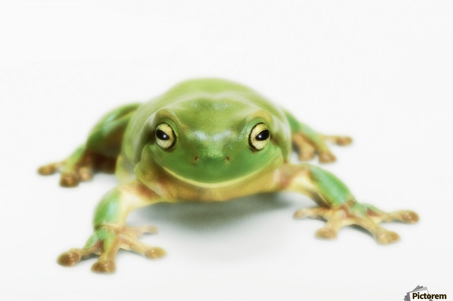 Blue Whites Tree Frog for Sale  Reptiles for Sale