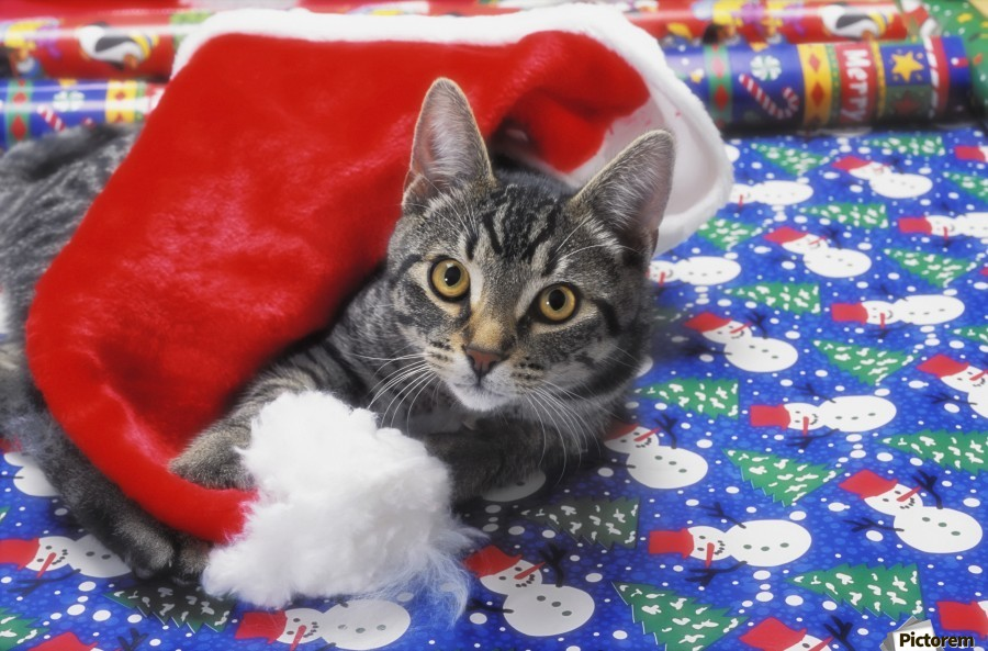 Grey tabby cat with santa claus hat lying on christmas gift wrap;Vancouver british columbia canada  Print