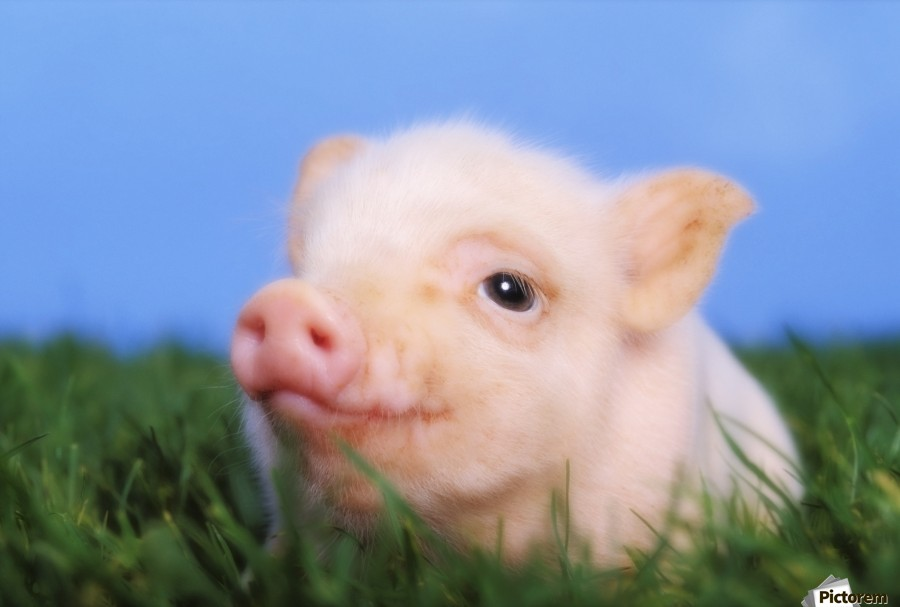 Baby pig lying on grass;British columbia canada ...