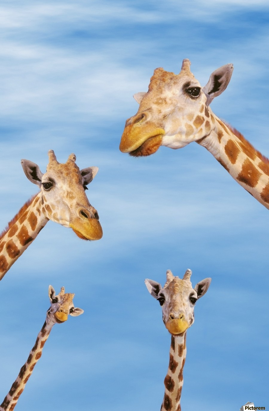 Four giraffes looking downward;Africa  Print
