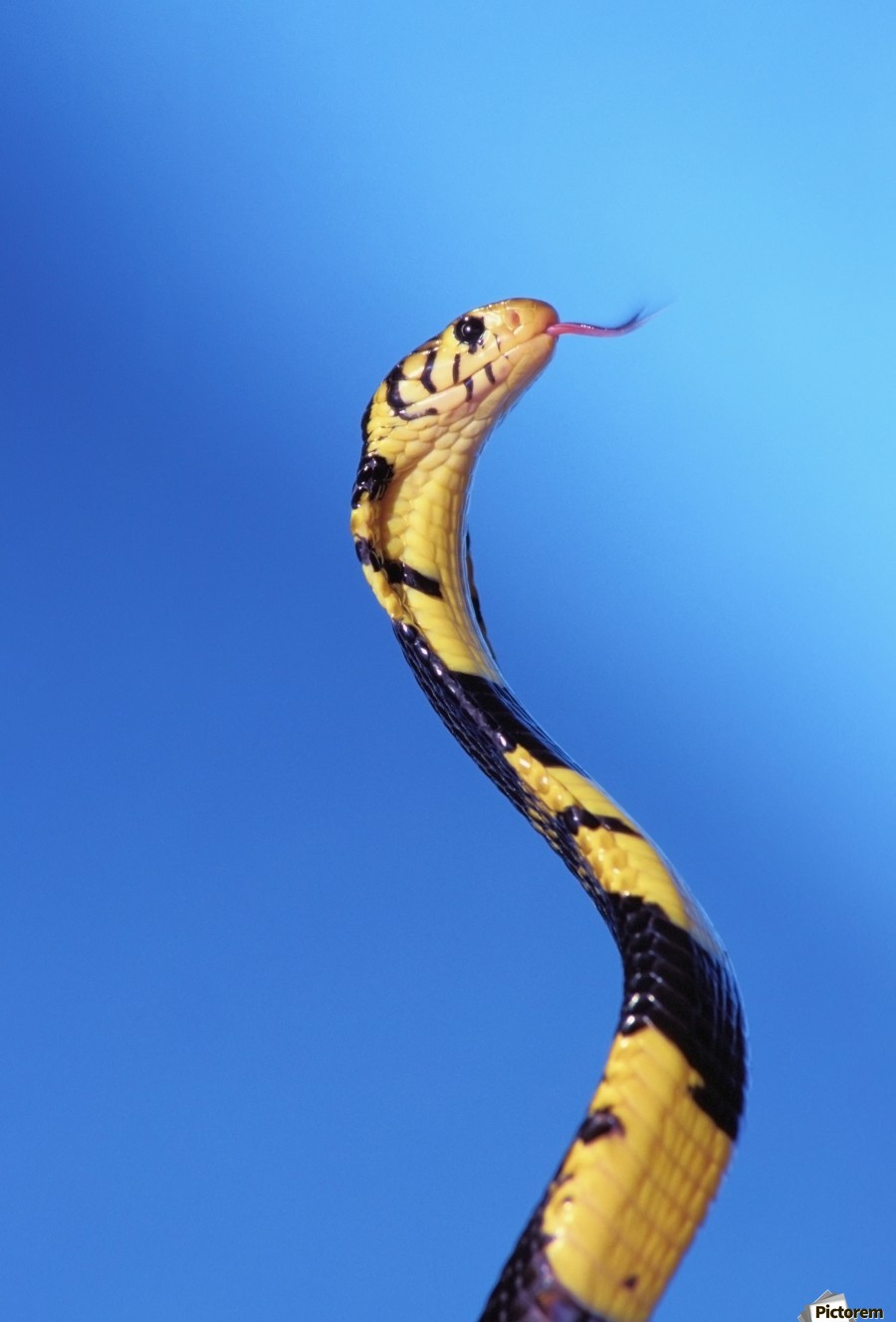 Forest cobra (naja melanoleuca) against a blue background;British columbia canada  Print
