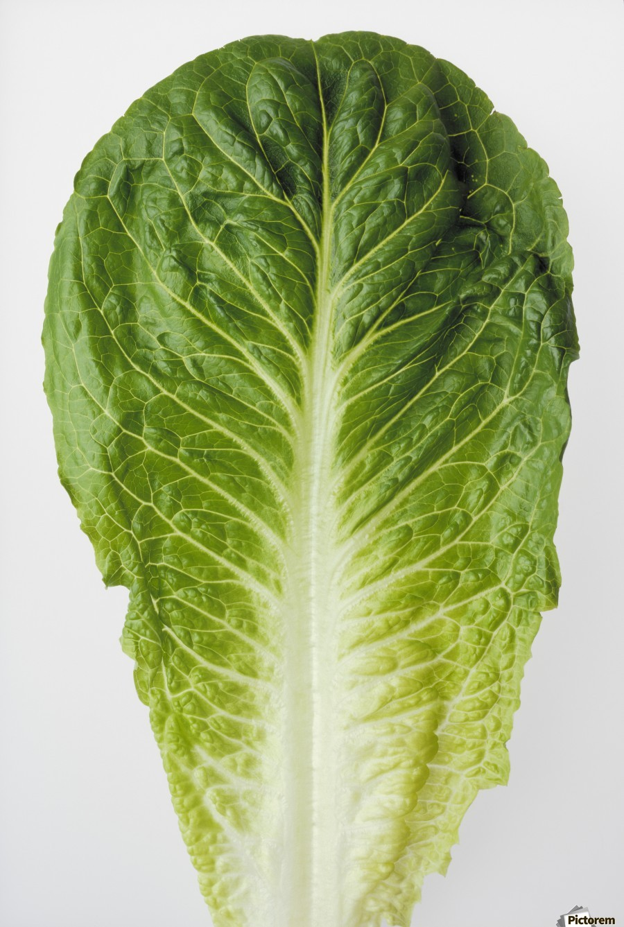 Agriculture - Closeup of a Romaine lettuce leaf on a white surface, studio.  Print