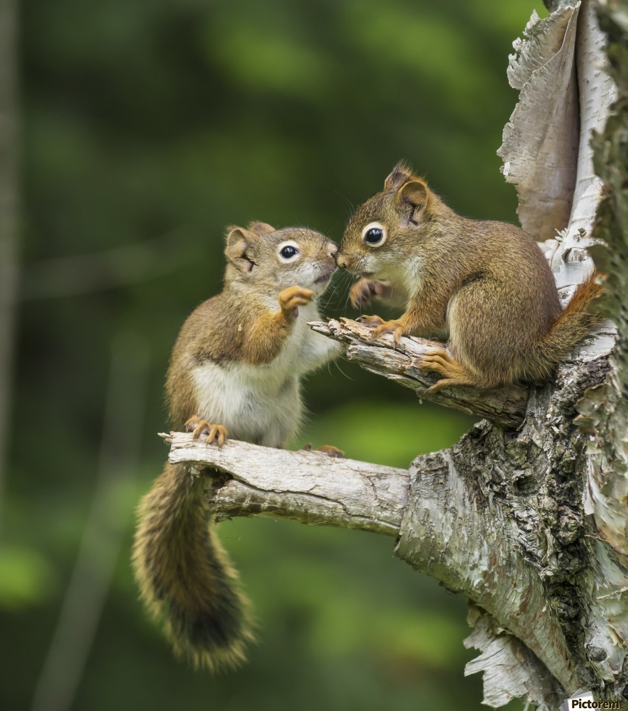 Two Red Squirrels (Sciurus Vulgaris) Playing In A Tree; Ontario, Canada  Print