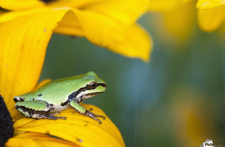 A Pacific Tree Frog (Pseudacris Regilla) Hunts For Insects On A Rudbeckia Blossom; Astoria, Oregon, United States Of America  Print