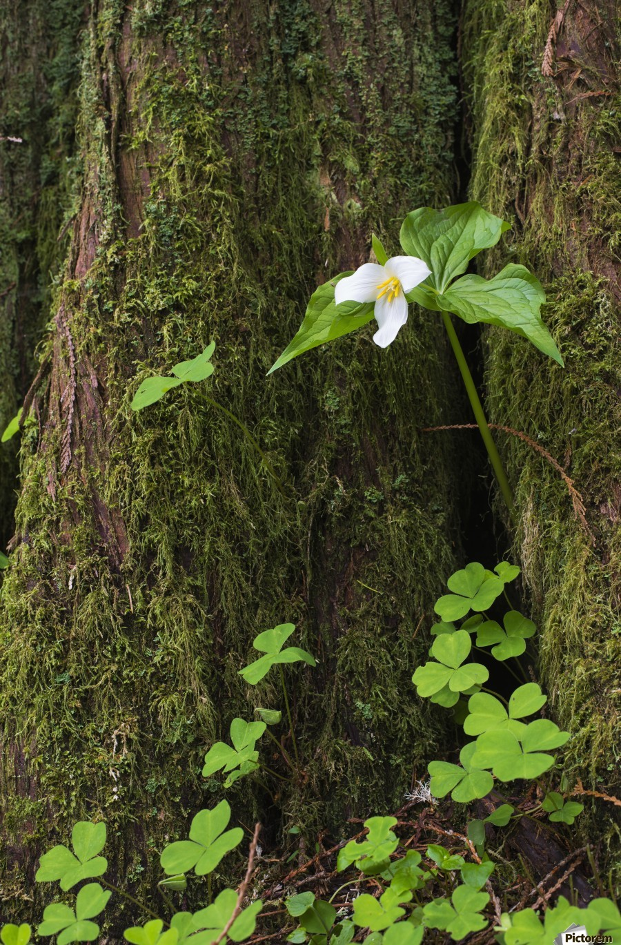 A Trillium grows from the trunk of a Western Red Cedar tree; Jewell, Oregon, United States of America  Print