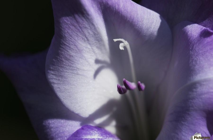 Purple gladiolus; Astoria, Oregon, United States of America  Print