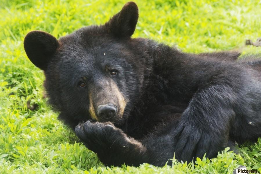 A black bear rolls around in the lush green grass  Print