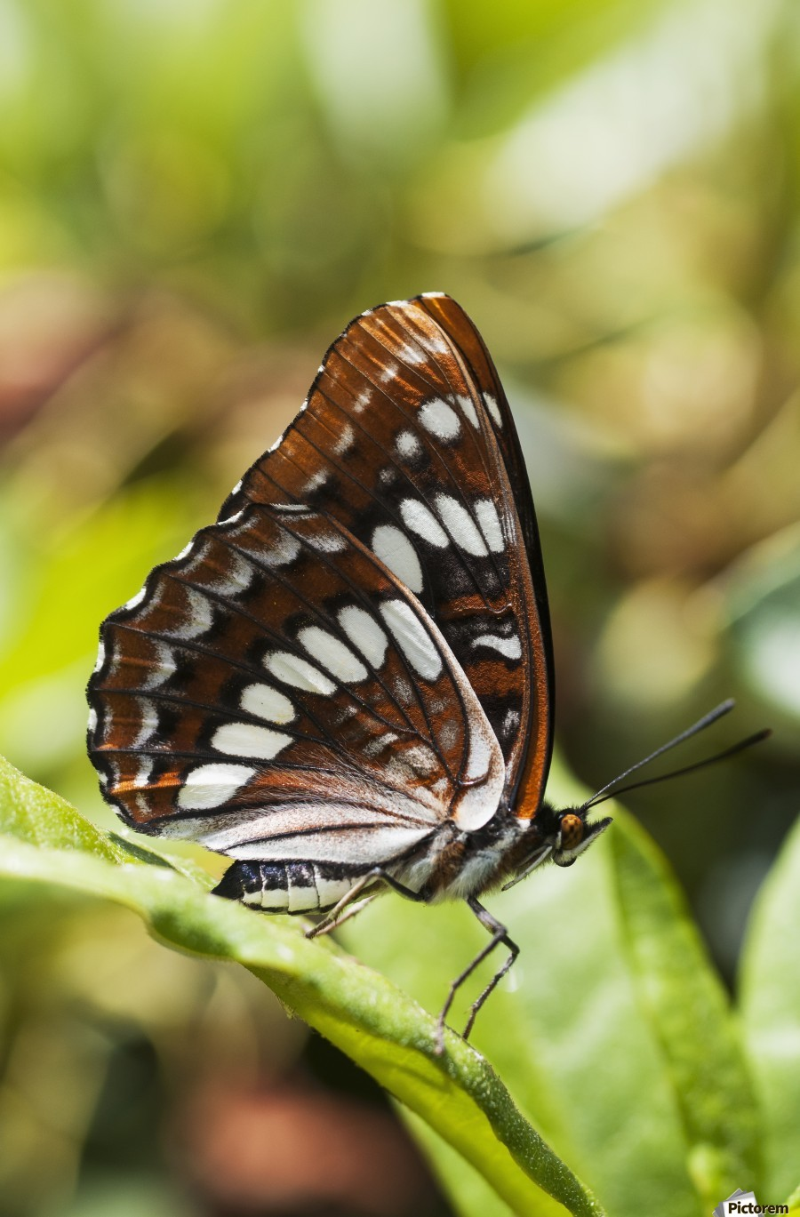 A White Admiral Butterfly (Limenitis arthemis) rests on a leaf; Astoria, Oregon, United States of America  Print