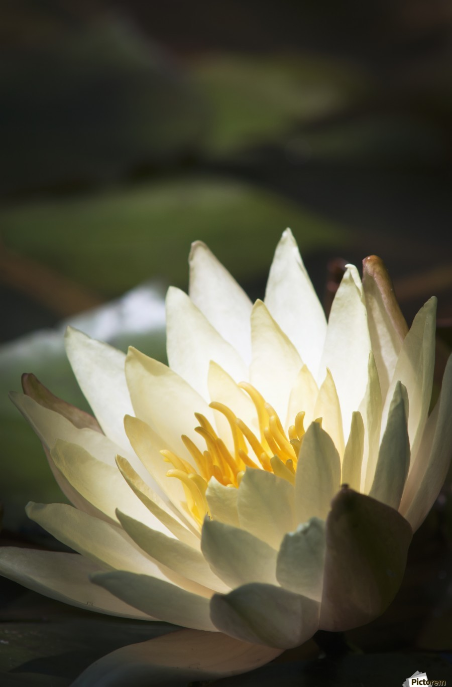 Water lily blooms in a pond; Astoria, Oregon, United States of America  Imprimer