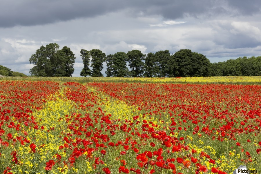 A field with an abundance of red and yellow flowers; Northumberland, England  Print