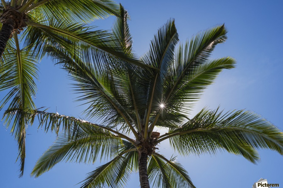 Coconut Palms backlit by the sunlight in a blue sky; Poipu, Kauai, Hawaii, United States of America  Print