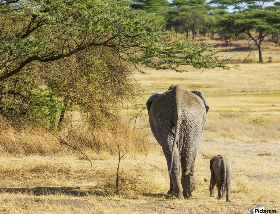 An African Elephant with it's young; Tanzania  Print