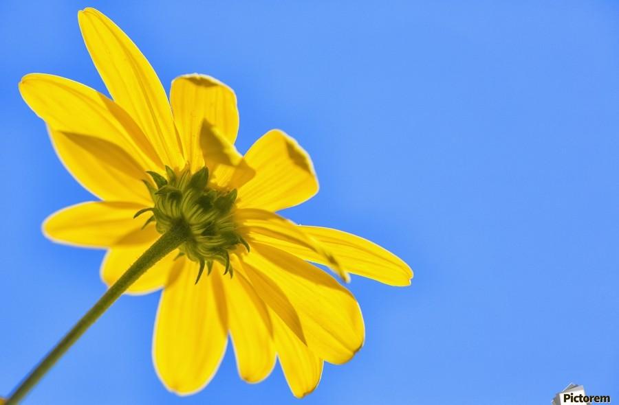 Yellow flower against a blue sky; Bolivia  Print