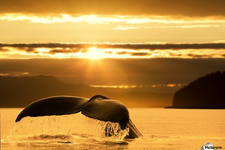 A Humpback Whale returns to the depths of Alaska's Inside Passage as the sun begins to set, Stephens Passage, near Juneau.  Print