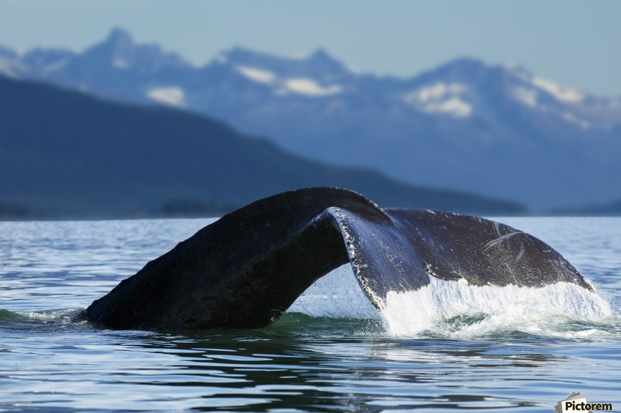 A Humpback whale lifts its flukes as it returns to the depths to feed in the bountiful waters of Alaska's Inside Passage, Tracy Arm in the distance, Stephens Passage, near Juneau.  Print