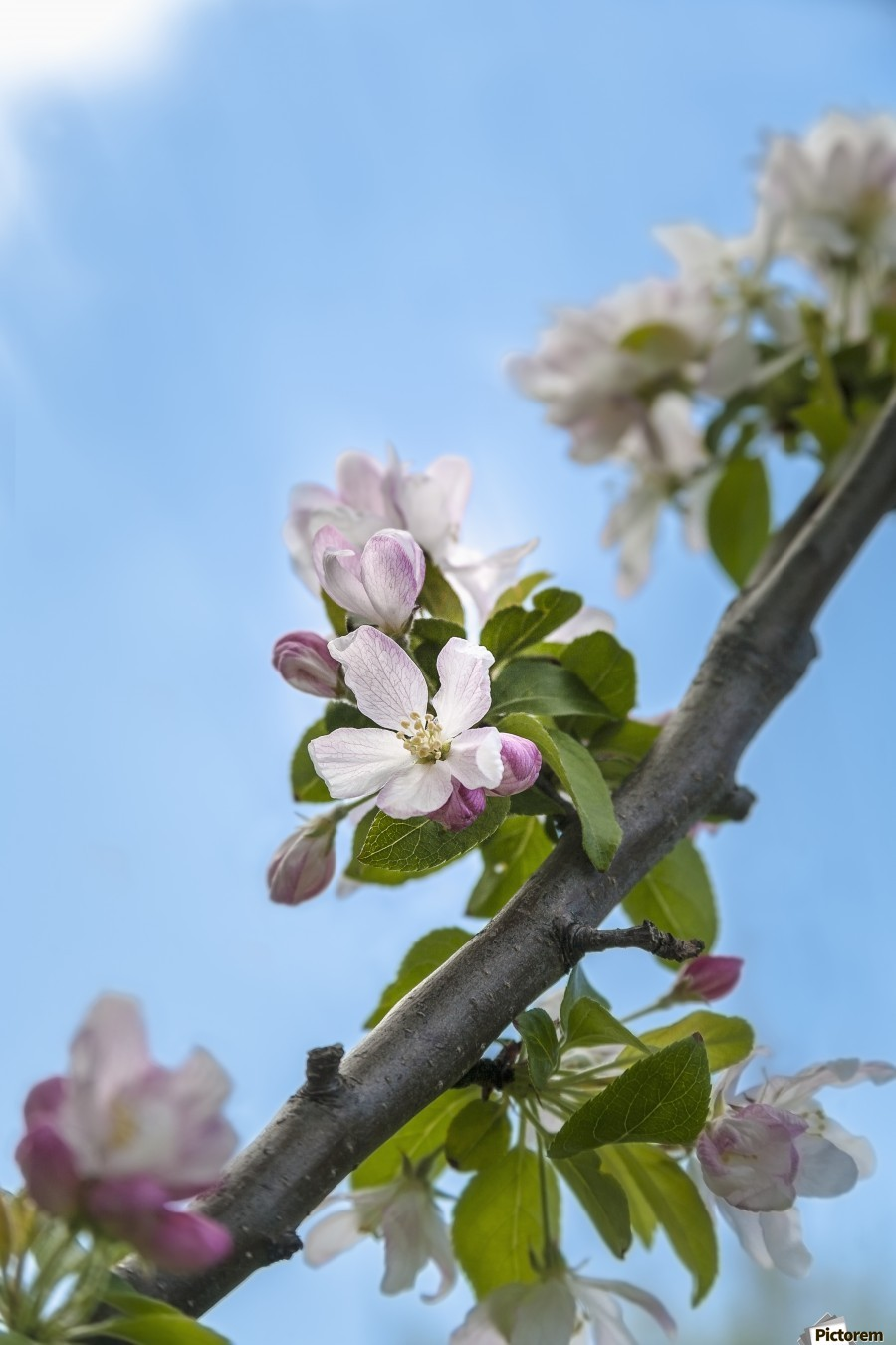 Pink and white crabapple flowers against a blue sky; Toronto, Ontario, Canada  Print